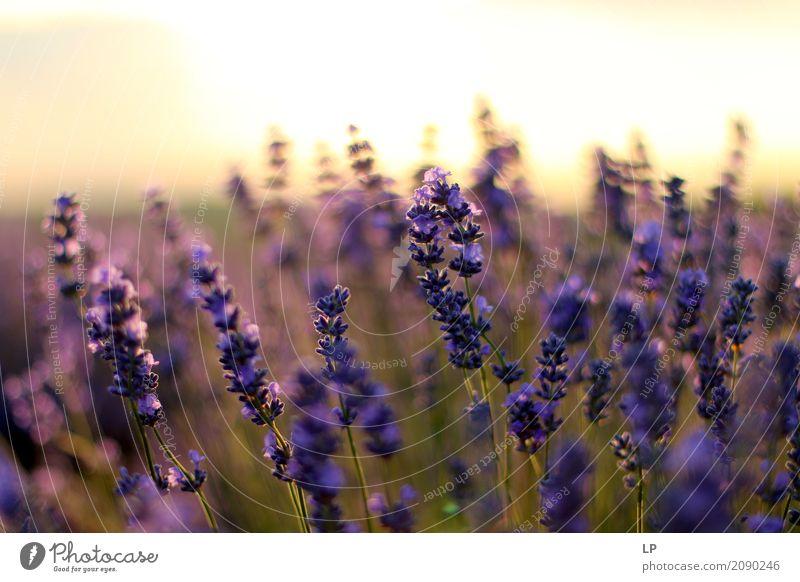 Lavendel bei Sonnenaufgang Lifestyle Stil Design exotisch Freude schön Gesundheit Alternativmedizin Medikament Wellness Leben harmonisch Wohlgefühl
