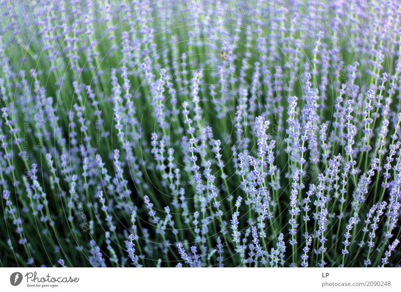 blühender Lavendel Lifestyle schön Gesundheit Gesundheitswesen Wellness Leben harmonisch Wohlgefühl Zufriedenheit Sinnesorgane Erholung ruhig Meditation Duft