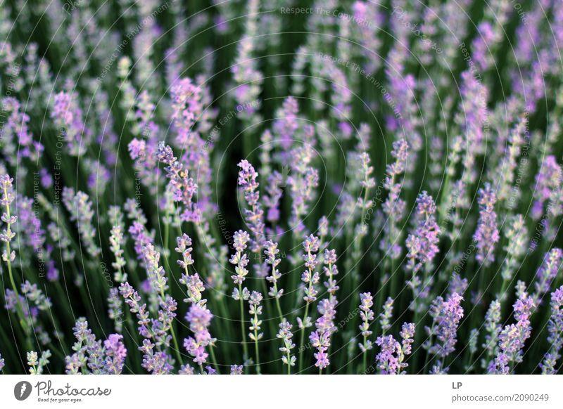 Lavendelfeld Natur Ferien & Urlaub & Reisen Landschaft Blume Erholung ruhig Umwelt Leben Lifestyle Innenarchitektur Gefühle Wiese Hintergrundbild Garten