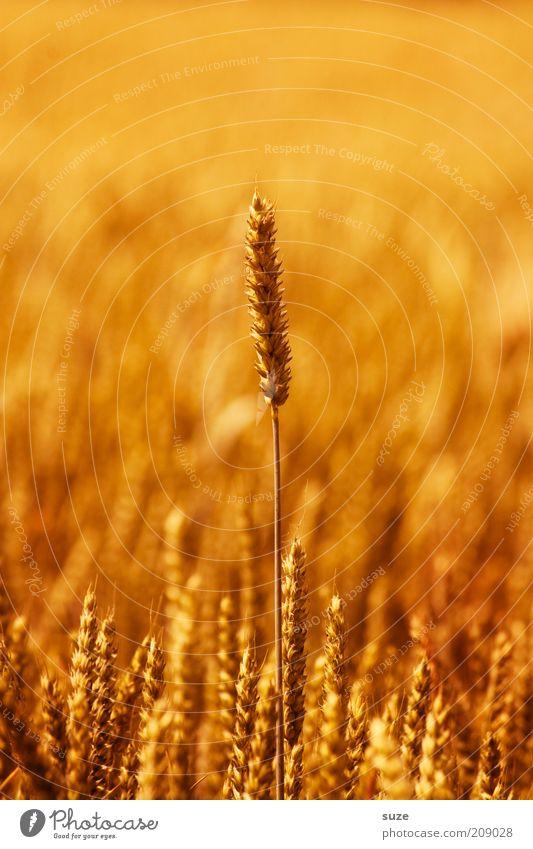 Noch 'n Korn Lebensmittel Getreide Bioprodukte Sommer Umwelt Natur Pflanze Nutzpflanze Feld Wachstum natürlich gelb gold Ähren Weizen Zerealien ökologisch