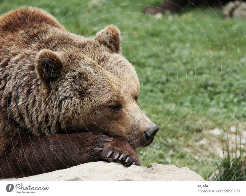 probier's doch mal mit... Natur Erholung Tier ruhig braun Zufriedenheit liegen Wildtier Kraft schlafen Pause Säugetier Tiergesicht Zoo Pfote ruhen