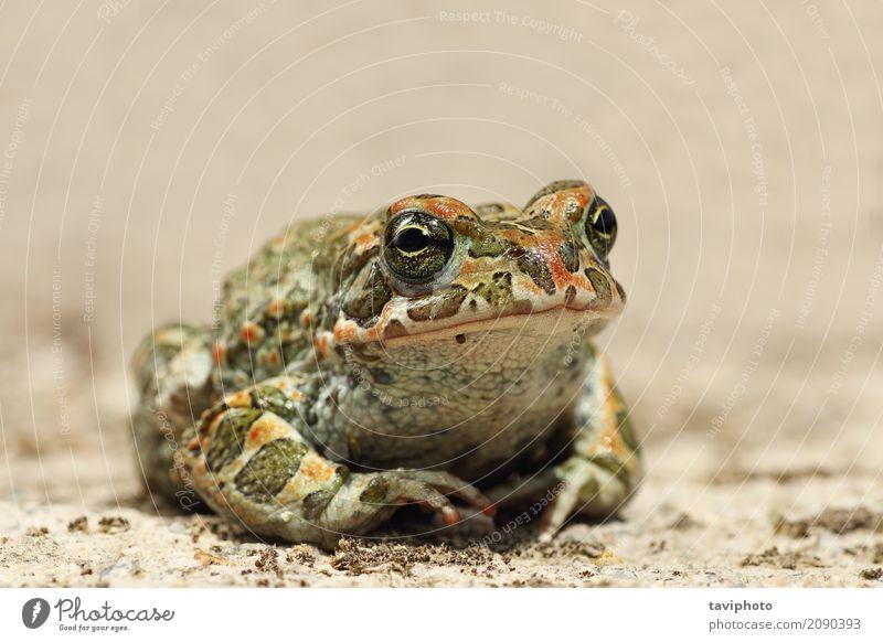Nahaufnahme Bufotes viridis Natur schön grün Tier Gesicht Auge Umwelt natürlich klein wild sitzen Fotografie beobachten Lebewesen Europäer Moos