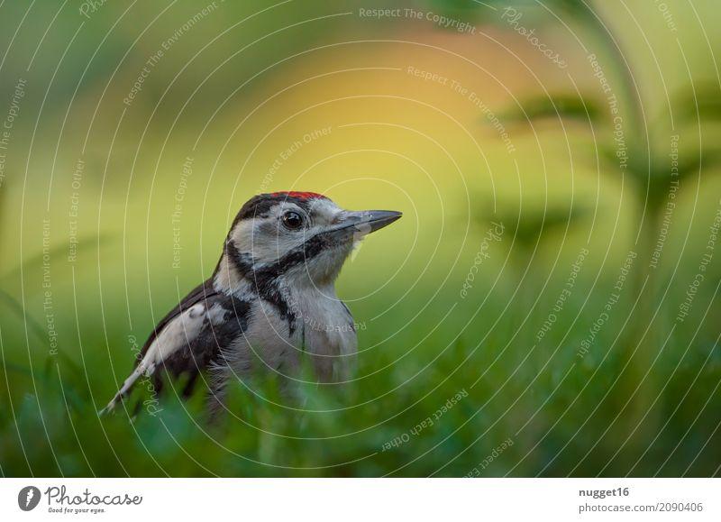 Buntspecht Umwelt Natur Tier Sonnenlicht Frühling Sommer Herbst Schönes Wetter Gras Garten Park Wiese Wald Wildtier Vogel Tiergesicht Flügel 1 sitzen ästhetisch