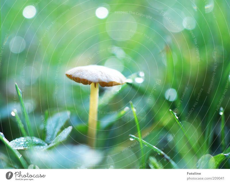 Und noch 'n Pilz Umwelt Natur Pflanze Urelemente Erde Wasser Wassertropfen Sommer Gras hell nass natürlich braun grün Pilzhut Lamelle Giftpilz Farbfoto