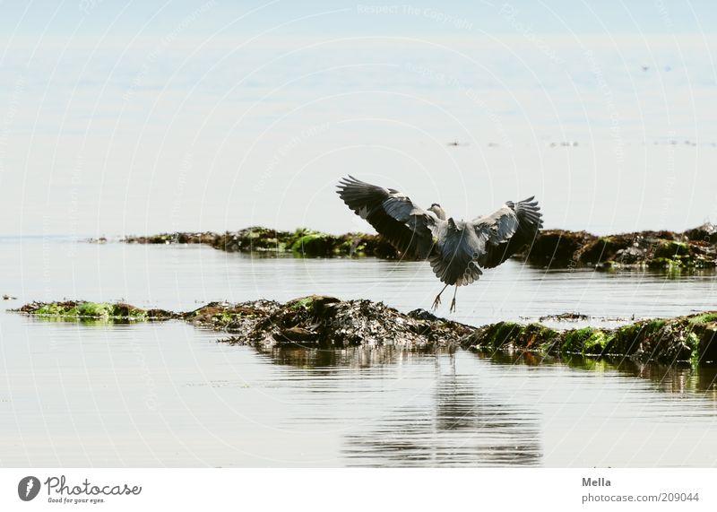 Reiher, schottisch Natur Wasser Meer blau Tier Bewegung Landschaft Zufriedenheit Vogel Küste elegant Umwelt fliegen frei ästhetisch Flügel