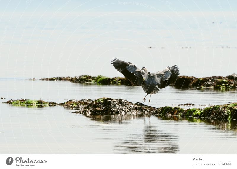 Reiher, schottisch Umwelt Natur Landschaft Tier Wasser Küste Meer Wildtier Vogel Graureiher 1 fliegen elegant frei natürlich blau ästhetisch Bewegung