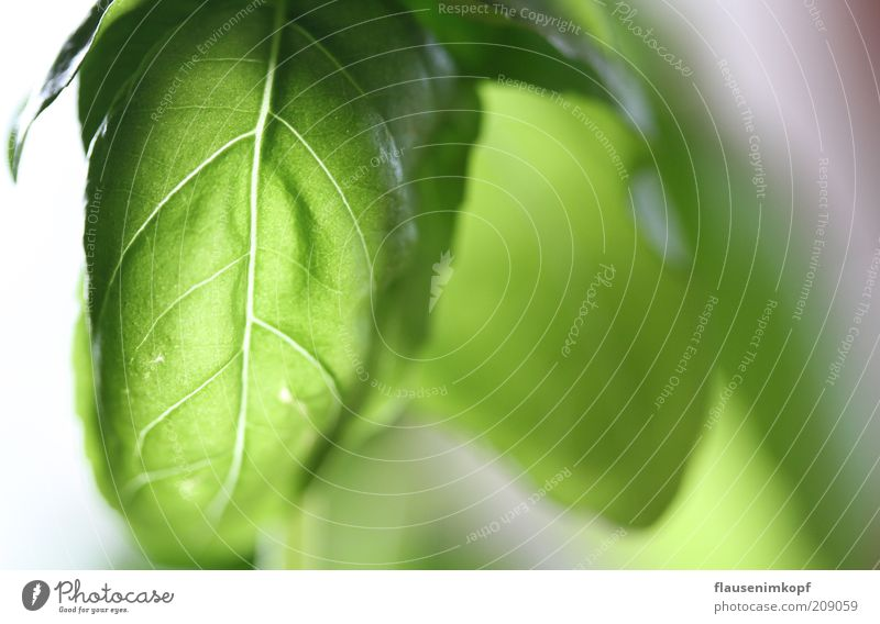 Wege des Lichts Lebensmittel Kräuter & Gewürze Pflanze Blatt Grünpflanze grün Basilikum leuchten Küchenkräuter Farbfoto Innenaufnahme Menschenleer Gegenlicht