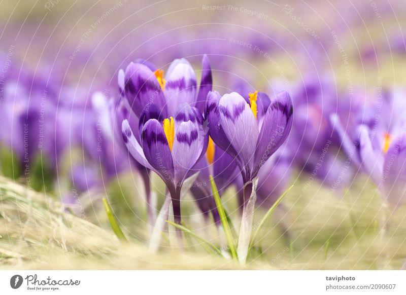 Nahaufnahme der wilden Safranblumen Natur Pflanze blau Farbe schön grün Landschaft Blume Berge u. Gebirge gelb Blüte Frühling Wiese natürlich Gras Garten