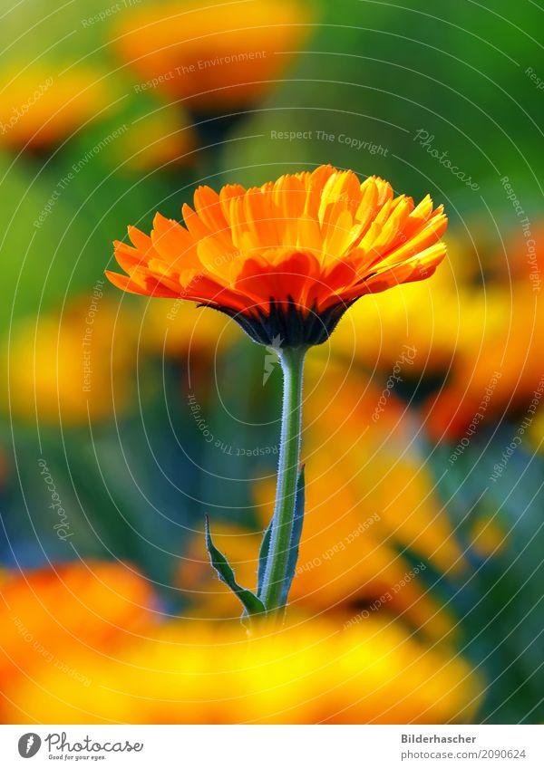 Kräftigbunt Ringelblume Gartenpflanzen Heilpflanzen Blütenstauden Blütenblatt Blumenwiese Alternativmedizin orange Sommerblumen Korbblütengewächs Teepflanze