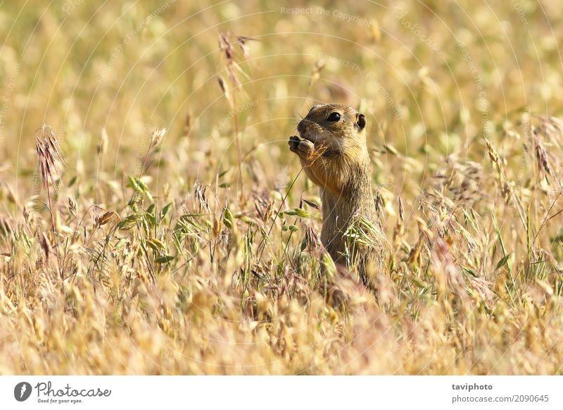 Europäischer Ziesel im natürlichen Lebensraum Essen schön Umwelt Natur Tier Gras Wiese füttern stehen klein lustig niedlich wild braun grün Appetit & Hunger