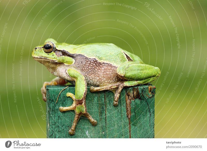 grüner Baumfrosch nah oben Natur Farbe schön Tier Wald Erwachsene Frühling lustig natürlich klein Garten wild Fotografie beobachten