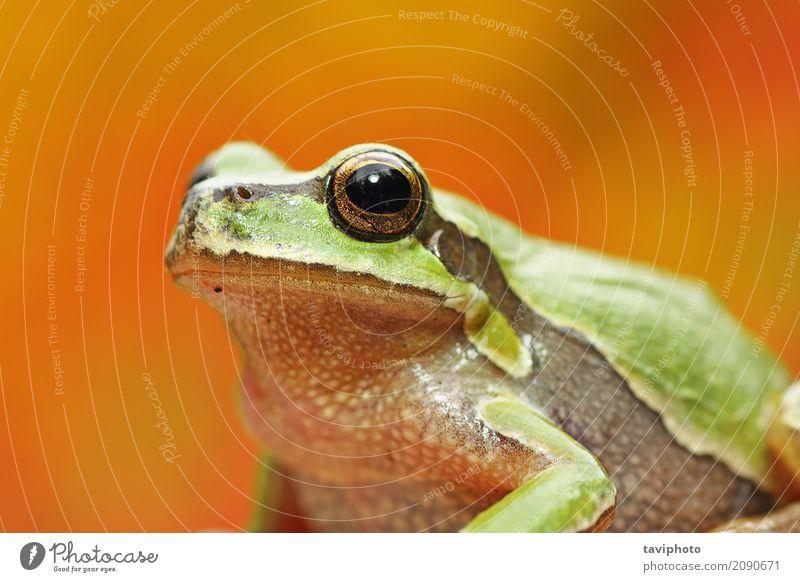 grünes Baumfroschporträt über buntem Hintergrund Natur Farbe schön Tier Erwachsene Umwelt lustig natürlich klein wild nass niedlich Beautyfotografie Europäer