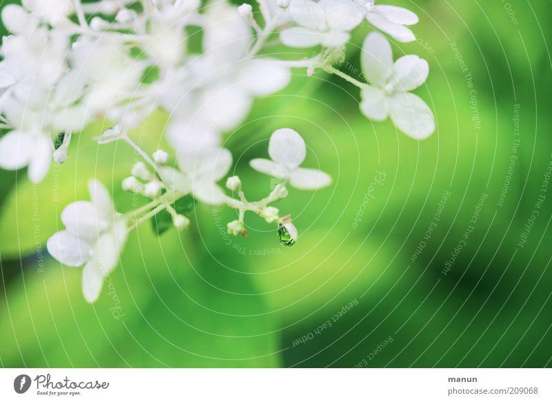 Tropfenfänger Duft Natur Pflanze Wassertropfen Frühling Sommer Blume Sträucher Blüte Hortensienblüte Sommerblumen Blühend frisch nass schön grün weiß ästhetisch