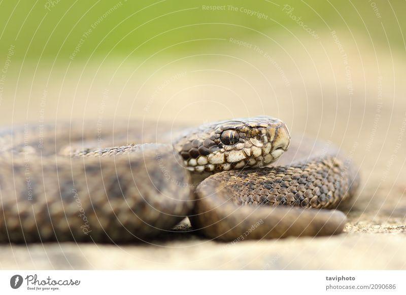 Jugendliche ungarische Wiesenvipernahaufnahme schön Natur Tier Schlange wild braun Angst gefährlich Natter Vipera ursinii Rakkosiensis Reptil Rumänien giftig