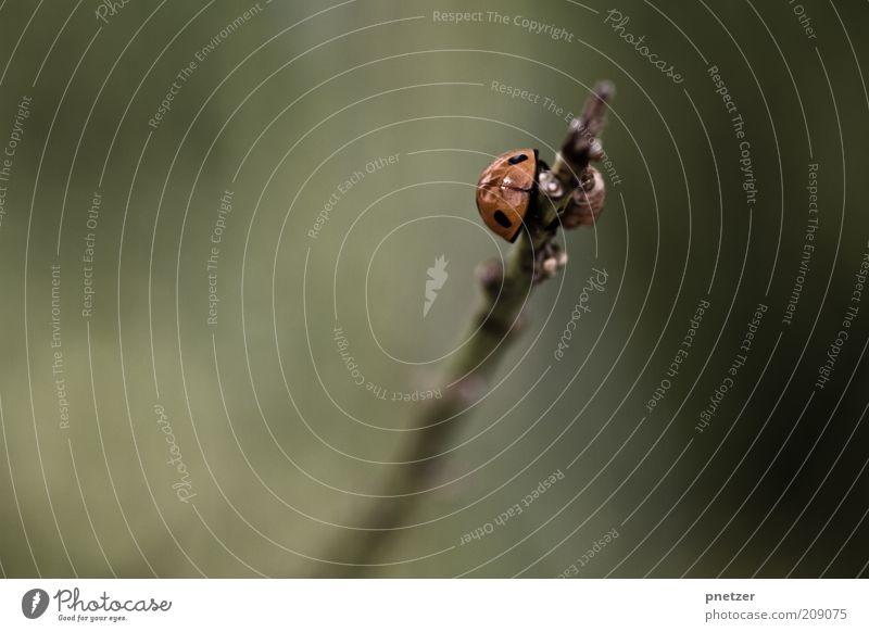 Wolkenkratzer Umwelt Natur Pflanze Tier Frühling Sommer Marienkäfer Insekt 1 Glück gut nah schön grün rot Gefühle Gedeckte Farben Außenaufnahme Makroaufnahme