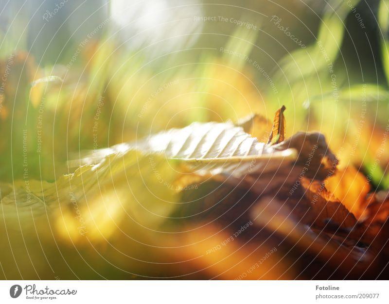 Vorahnung Herbst Natur grün Pflanze Blatt gelb Wärme braun hell Umwelt nah weich natürlich Herbstlaub herbstlich Herbstfärbung