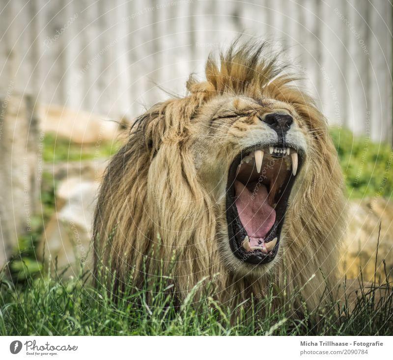 Gähnender Löwe Natur grün Sonne Erholung Tier schwarz gelb natürlich Gras orange liegen Kraft Wildtier Schönes Wetter groß bedrohlich