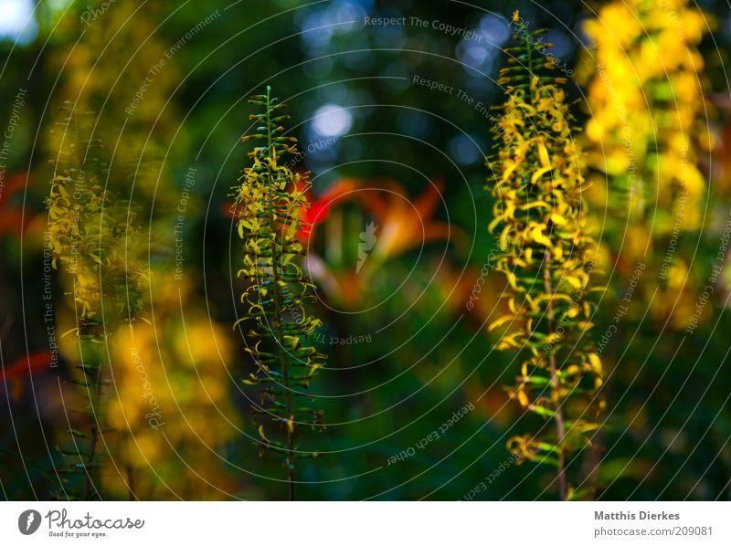 Botanischer Garten Natur schön Pflanze Sommer gelb Blüte Gras glänzend elegant Umwelt gold frisch ästhetisch Sträucher einzigartig fantastisch