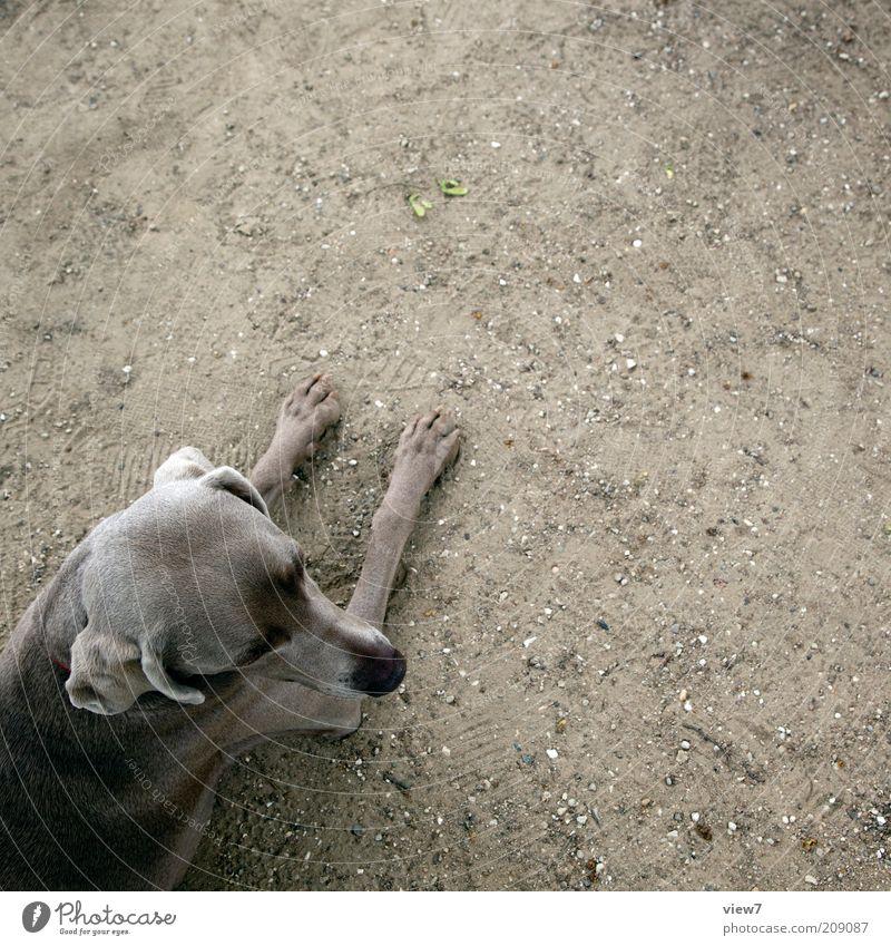 mimikry Tier Erholung Kopf grau Hund Sand warten dreckig elegant Erde ästhetisch authentisch einfach liegen dünn Vertrauen