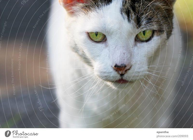 Katzenblick Tier Haustier Tiergesicht 1 authentisch Coolness schön natürlich grau weiß Wachsamkeit Neugier heimisch anschauend Säugetier Starrer Blick