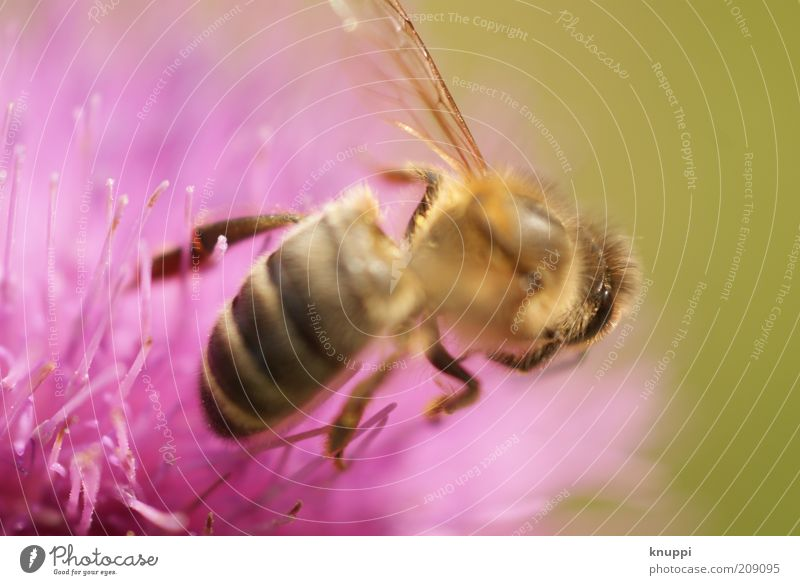 just a bee Natur Blume Pflanze Sommer schwarz Tier gelb Blüte Frühling rosa Umwelt Flügel Insekt Tierhaut Biene Schönes Wetter