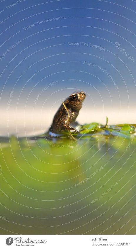Hans GuckindieLuft Tier Teich See Frosch hocken Blick sitzen klein Neugier niedlich Einsamkeit winzig Nahaufnahme Makroaufnahme Froschperspektive Tierporträt