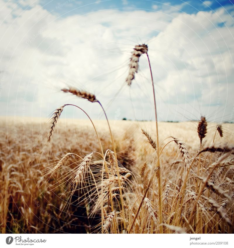 yellow field Natur Himmel Pflanze Sommer Wolken Ferne Farbe Landschaft Feld Umwelt Horizont Getreide Idylle Stengel reif genießen