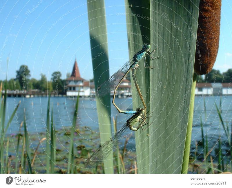 Coitus libellus Libelle Schilfrohr Sommer Wasser Makroaufnahme