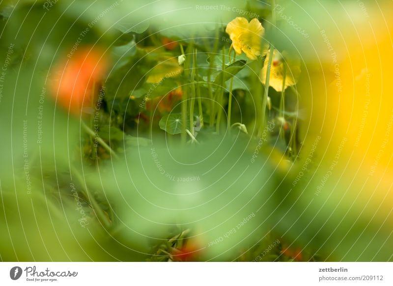 Kapuzinerkresse Pflanze Blume Blatt Blüte Wachstum Farbfoto Außenaufnahme Nahaufnahme Detailaufnahme Makroaufnahme Morgen Tag Starke Tiefenschärfe Weitwinkel