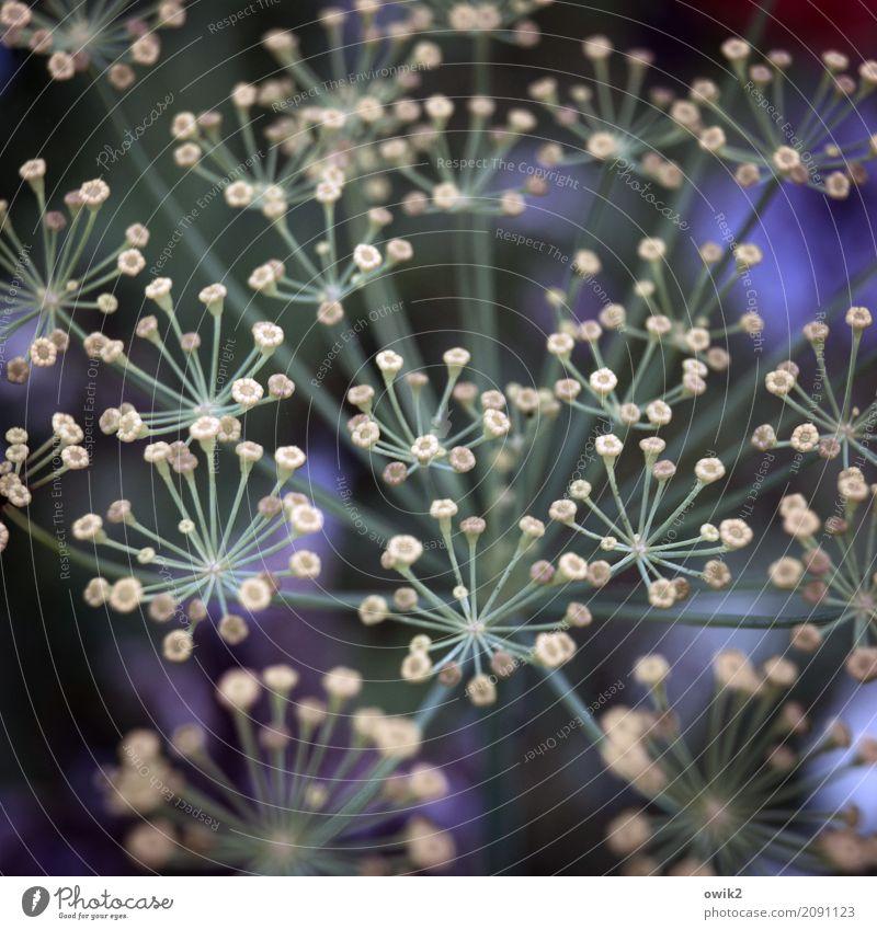 Drill Umwelt Natur Pflanze Blüte Nutzpflanze Kräuter & Gewürze Dill Dillblüten Duft authentisch frisch klein nah natürlich viele blau gelb grün identisch offen