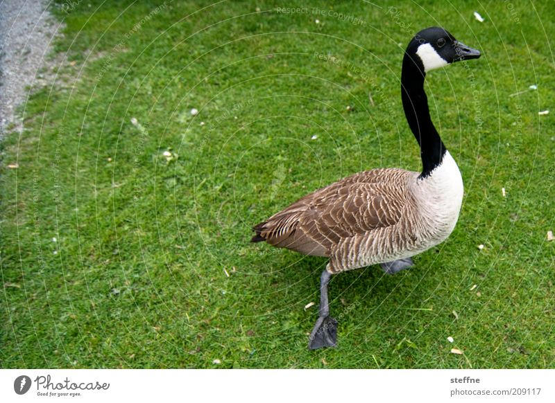 Gans schön fies, der Zählfred Wiese Haustier Nutztier 1 Tier laufen schnattern Farbfoto Außenaufnahme Weitwinkel Tierporträt Gras Rasen grün Feder Hals