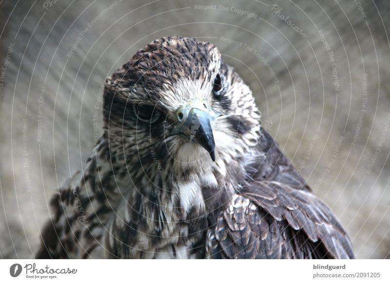 Falconlord Tier Vogel Tiergesicht Feder Schnabel 1 beobachten Freundlichkeit braun grau schwarz weiß selbstbewußt Kraft ästhetisch Zufriedenheit elegant
