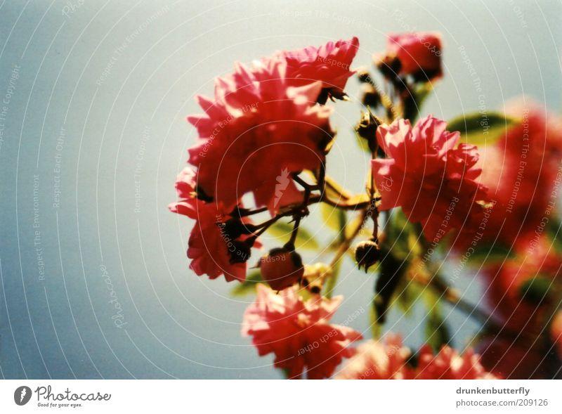 Der Sonne entgegen Natur Pflanze Luft Himmel Sonnenlicht Sommer Schönes Wetter Wärme Blüte Blühend Wachstum blau grün rosa Umwelt Vergänglichkeit Farbfoto