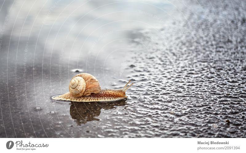 Schnecke, die eine Pfütze kreuzt. Natur Tier Sommer Regen Straße krabbeln nass natürlich schleimig braun Gelassenheit Mobilität Zusammenhalt Riesenglanzschnecke