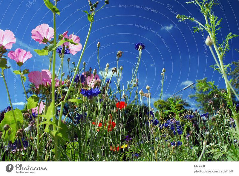 Blumenwiese Frühling Sommer Schönes Wetter Pflanze Blüte Wiese Blühend Wachstum Duft mehrfarbig Idylle Natur ruhig Farbfoto Außenaufnahme Sonnenlicht
