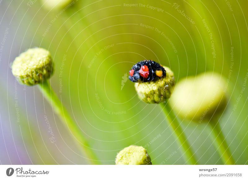 Regenkäfer III grün rot Tier schwarz klein Wildtier Wassertropfen Insekt Käfer Marienkäfer Nutztier Pflanzenteile Blütenstiel Querformat schwarz-rot