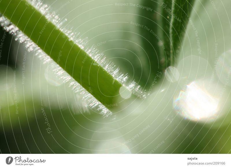 lichtspiel Natur grün Pflanze Umwelt weich Stengel leuchten Makroaufnahme Grünpflanze Flaum Pflanzenhaar