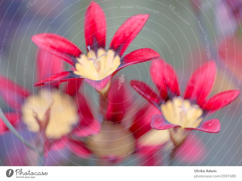 Rote Blumen Leben Tapete Bild Poster Natur Pflanze Frühling Nebel Blüte Topfpflanze Garten Park Blühend Fröhlichkeit frisch gelb rot Frühlingsgefühle Vorfreude