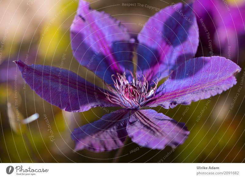 Clematis Natur Pflanze Sommer Blume Blüte Waldrebe Ranke Garten Park Blühend blau violett Romantik Farbfoto Außenaufnahme Nahaufnahme Detailaufnahme