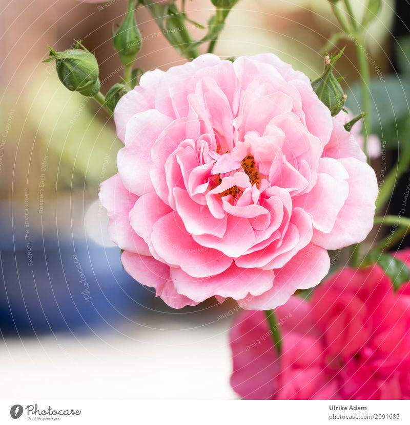 Rosa Rose elegant Stil Design Dekoration & Verzierung Tapete Bild Poster Postkarte Valentinstag Hochzeit Natur Pflanze Sommer Blume Blüte Park Blühend Duft