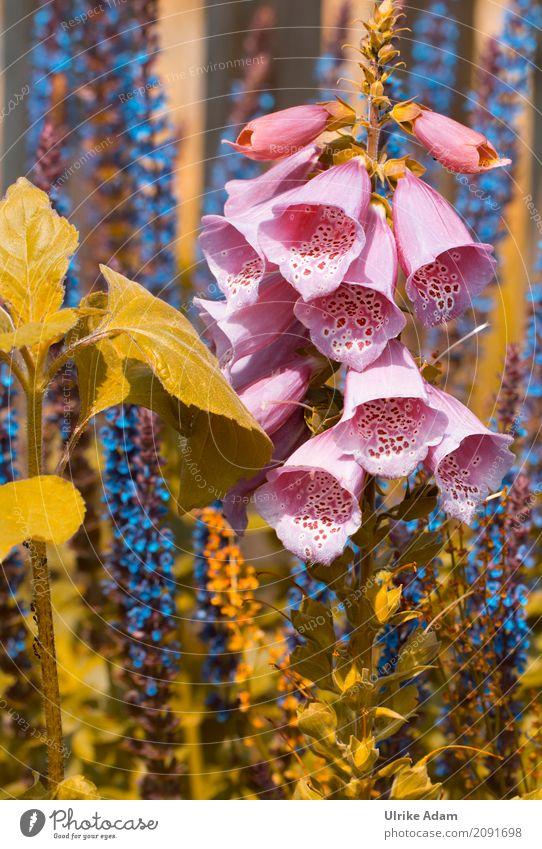 Fingerhut Natur Pflanze blau Sommer schön grün Blume Blüte Innenarchitektur Stil Garten rosa Park Dekoration & Verzierung Blühend Tapete