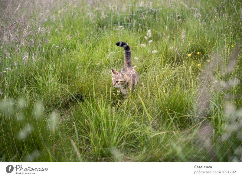 Revierkontrolle Natur Pflanze Tier Sommer Schönes Wetter Gras Gräserblüte Wiesenblume Haustier Katze 1 beobachten Blühend entdecken braun gelb grün schwarz