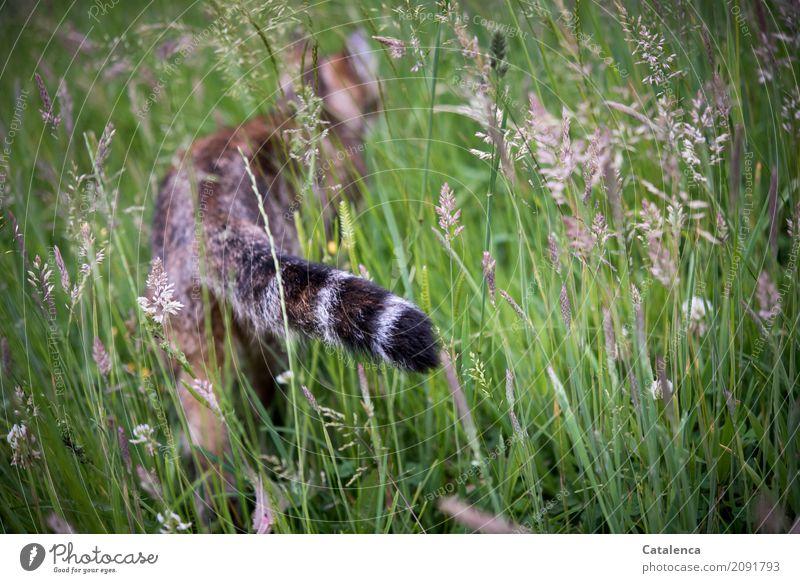 Durchstreifen Katze Natur Pflanze Sommer grün Tier schwarz gelb Wiese Gras Garten grau braun Stimmung gehen elegant