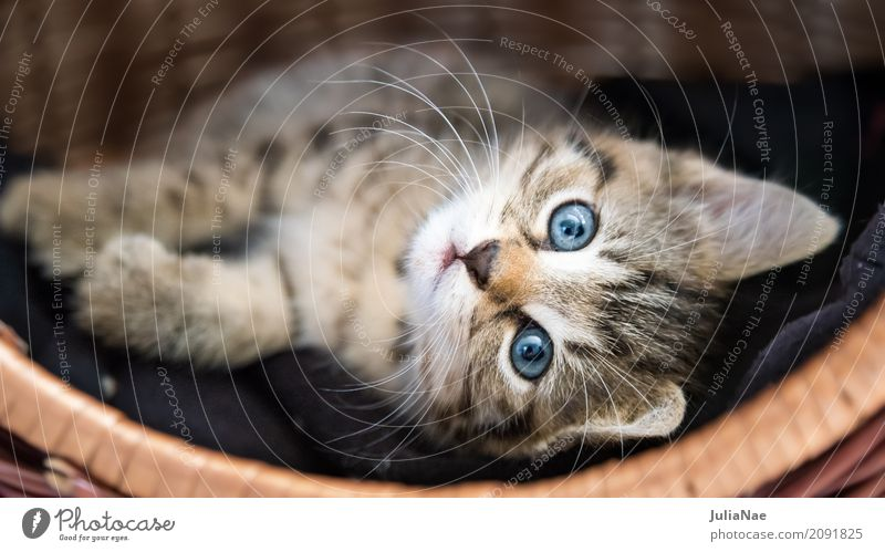 Kleine Katze im Körbchen Hauskatze Katzenbaby schön süß kitten Baby miez Auge Haustier Hintergrundbild Tier Interesse Kind Ohr Spielen Tierjunges Säugetier weiß