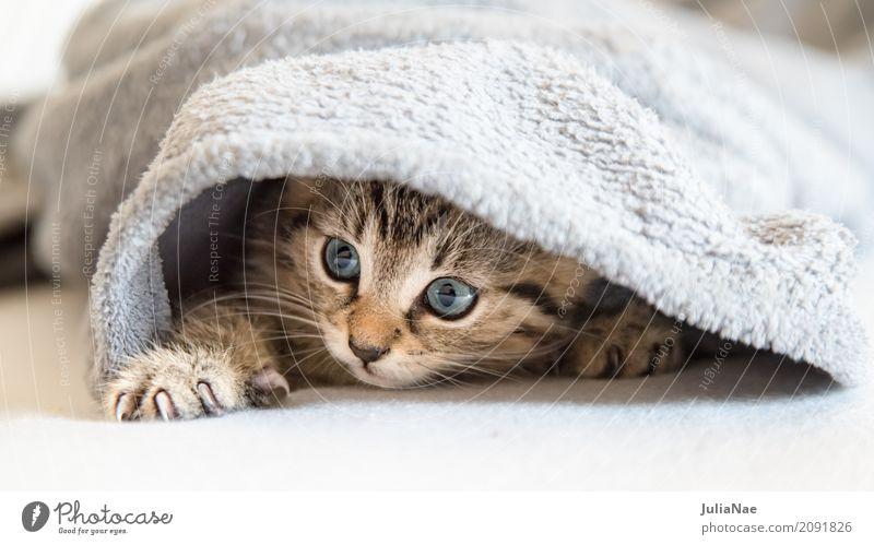 kleine Katze versteckt sich schön Spielen Kind Baby 1 Mensch Tier Haustier Tiergesicht Fell Krallen Tierjunges kuschlig Neugier niedlich weich grau weiß