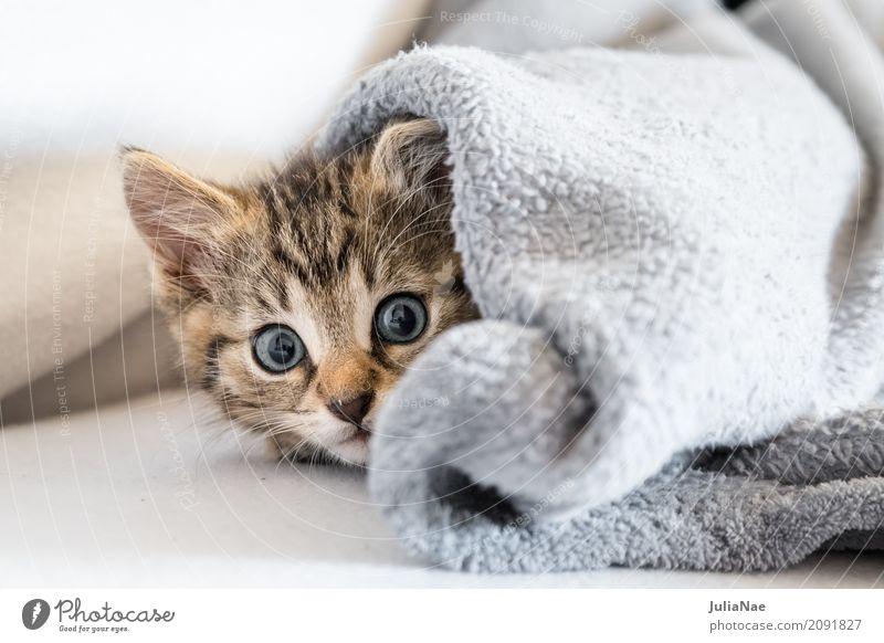 kleine Katze unter einer decke Hauskatze Katzenbaby schön süß kitten Baby miez Auge Haustier Hintergrundbild Tier Interesse Kind Ohr Spielen Tierjunges