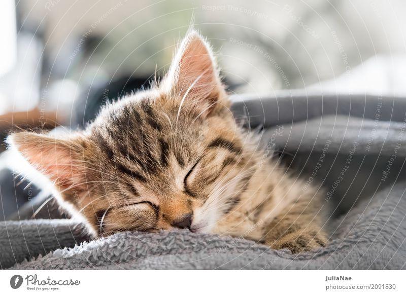 kleine katze schläft Katze Hauskatze Katzenbaby schön süß kitten Baby miez Auge Haustier Hintergrundbild Tier Interesse Kind Ohr Spielen Tierjunges Säugetier
