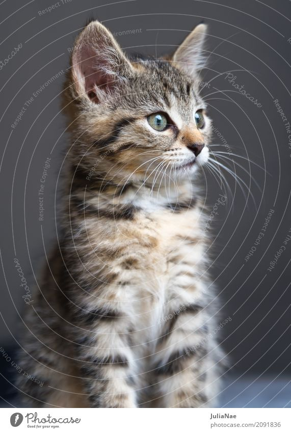 kleine Katze schaut gespannt Hauskatze Katzenbaby schön süß kitten Baby miez Auge Haustier Tier Interesse Kind Ohr Spielen Tierjunges Säugetier weiß niedlich