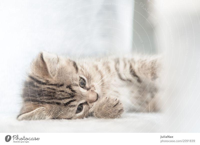 Kleine Katze spielt Hauskatze Katzenbaby schön süß kitten Baby miez Auge Haustier Hintergrundbild Tier Interesse Kind Ohr Spielen Tierjunges Säugetier weiß