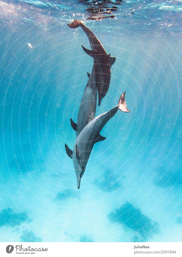 3 Delfine spielen im wasser Delphine Wasser Tier Meer schwimmen ostpazifischer delfin stenella longirostris Rotes Meer Ägypten tauchen Schnorcheln wild
